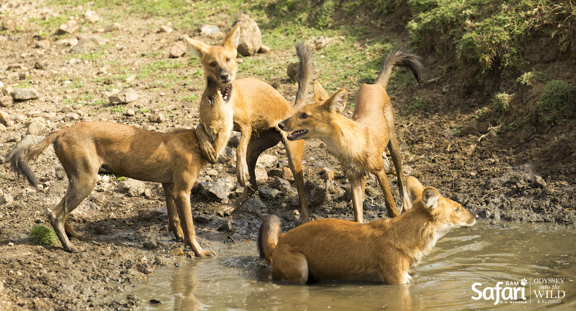 Asiatic Wild dogs at Pench Tiger Reserve - BAM Safari